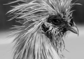 Gallo di seta bagnata foto