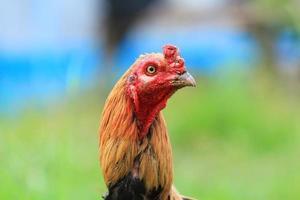 galli, pollo foto