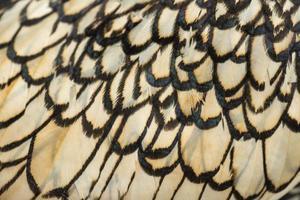 macro di una piuma del gallo di sebright bantam foto