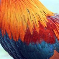 piuma di gallo come sfondo foto