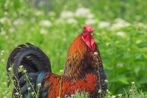gallo colorato su verde foto
