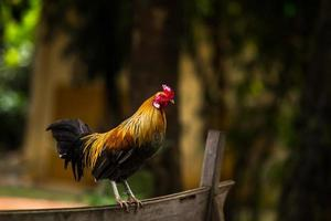 gallo colorato in piedi sul terreno. foto
