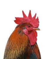 la testa del gallo su sfondo bianco.