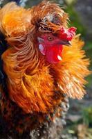 ritratto di un fiero gallo colorato