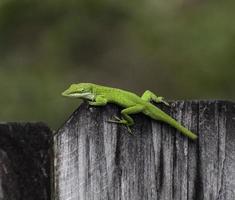 anole verde intenso sul recinto di legno foto