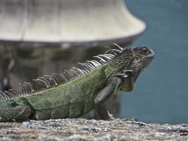 Iguana al sole foto