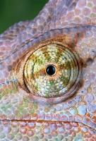 occhio camaleonte da vicino