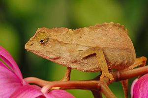 camaleonte sulla pianta foto