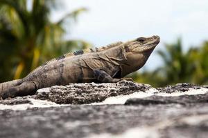 iguana messicana
