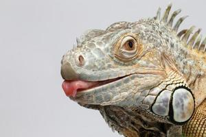 iguana verde del primo piano che mostra lingua su bianco