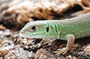 lucertola verde europea foto