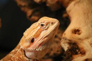 lucertola di drago barbuta su un pezzo di legno foto