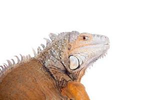 iguana verde su bianco