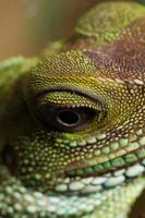 testa e occhio di un agama adulto (physignathus cocincinu)