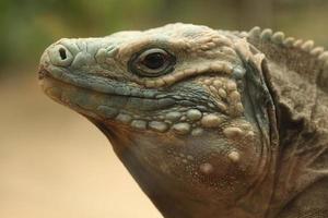 iguana blu (cyclura lewisi) foto
