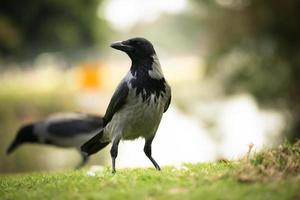 il corvo fa la guardia ai suoi amici