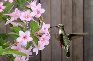 colibrì e caprifoglio