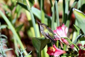 colibrì con la lingua sporgente.