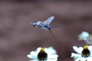 falena colibrì in volo