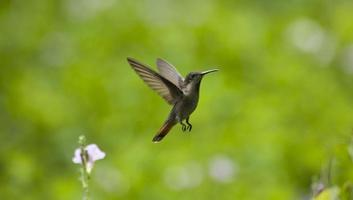 colibrì in volo foto