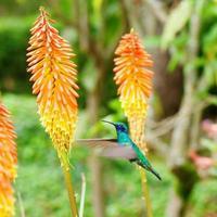 bellissimo volo colibrì verde blu foto