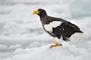 l'aquila di mare di Steller in piedi sul ghiaccio. foto