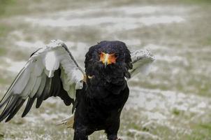 bateleur eagle, snake eagle, bella chiusura, immagine a colori foto