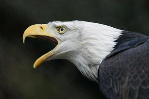 aquila calva nordamericana foto
