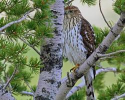 falco giovanile a punta acuminata