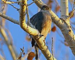 femmina adulta di falco shinned acuto
