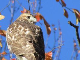 testa di falco coda rossa nel profilo