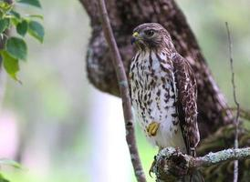 falco rosso sulle spalle in un albero