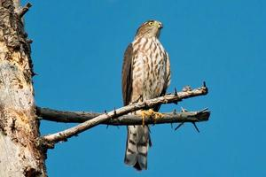 falco acuto