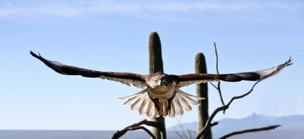falco ferruginoso con ampia apertura alare visibile
