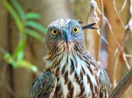 aquila di falco crestata foto
