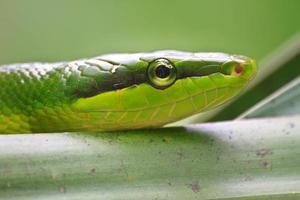 ratsnake verde dalla coda rossa foto