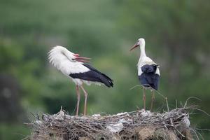 cicogna bianca, ciconia ciconiaa foto