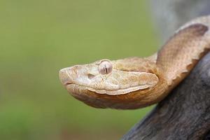 serpente meridionale di rame