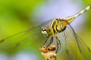 mosca del drago foto