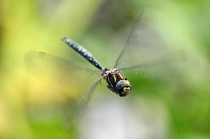 libellula volante foto
