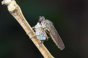 mosca di ladro di asilidi