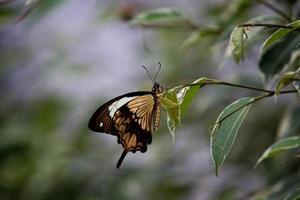 farfalla di coda forcuta africana che si appollaia sulla foglia foto