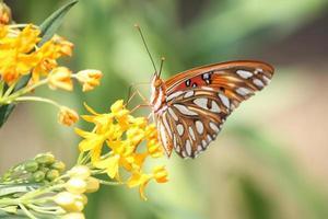 farfalla del primo piano
