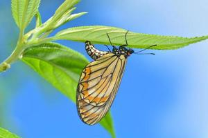 la farfalla depone le uova foto