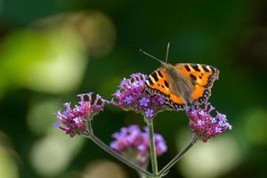 piccola farfalla di guscio di testuggine sul fiore di verbena foto