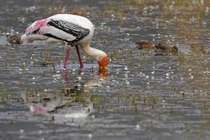 cicogna dipinta in un lago