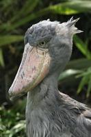 shoebill (balaeniceps rex) foto