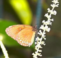 farfalla foto