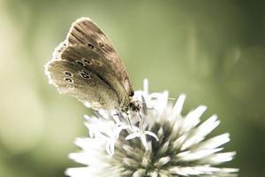 farfalla ringlet (aphantopus hyperantus) foto