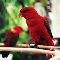 pappagallo di eclectus foto